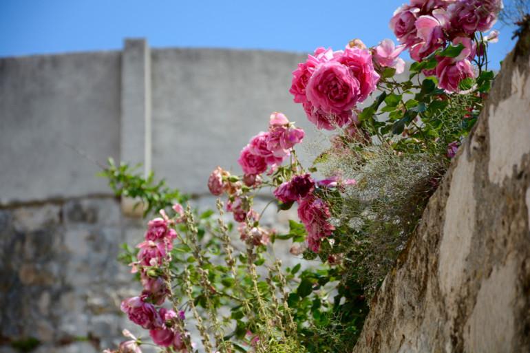 pinke Blumen in der Alstadt von Dubrovnik an der Stadtmauer