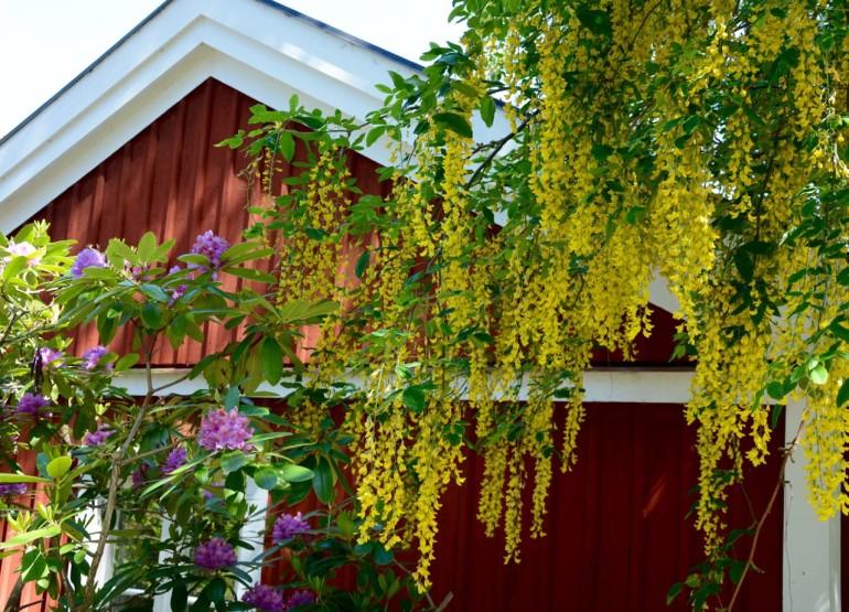 Ein in rot getünchtes Ferienhaus versteckt sich hinter bunt blühenden Büschen und Bäumen in Stockholms Schärengarten Sandhamn.