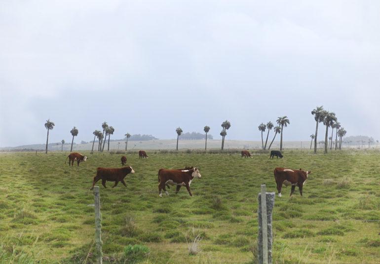 Travellers Insight Reiseblog Uruguay Rinder