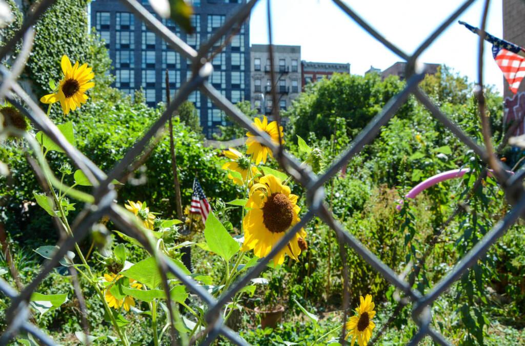 Durch einen Zaun hindurch sieht man die Blumen vor der Stadtkulisse von New York blühen.