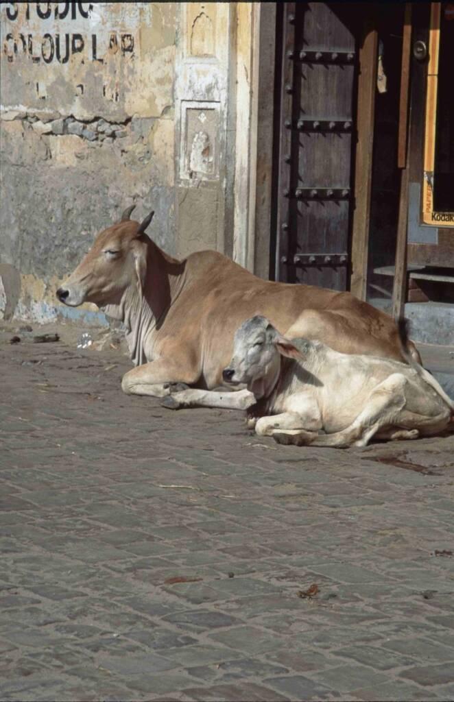 Kühe wie diese gelten im Hinduismus als heilig und dürfen deshalb nicht auf dem Tisch landen.