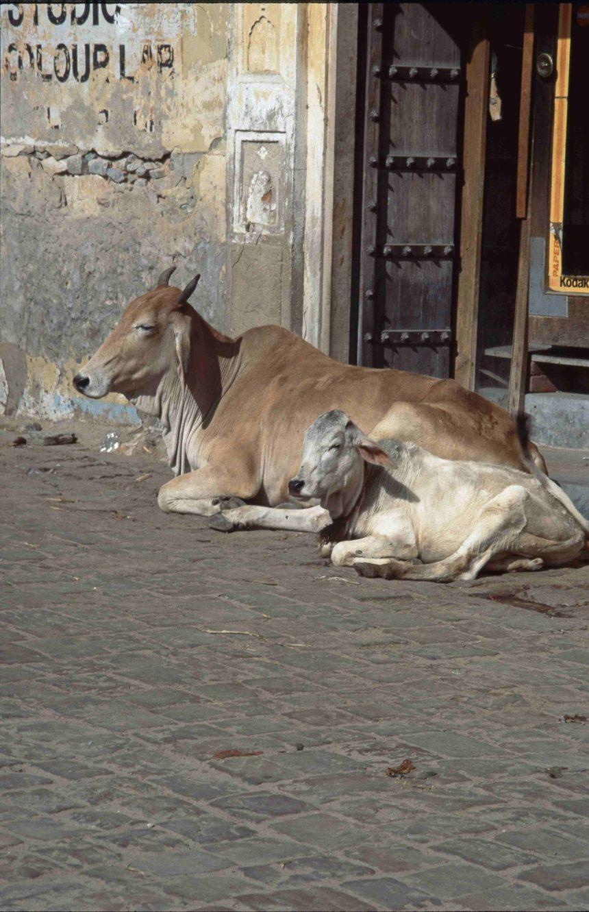 Travellers Insight Reiseblog Speisevorschriften Heilige Kühe