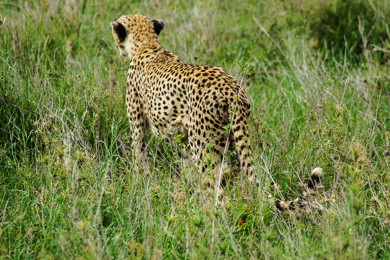 Tansania Safari Travellers Insight Reiseblog Gepard Cheetah