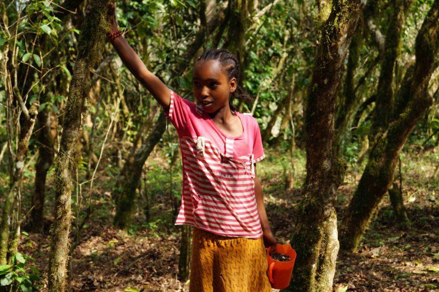 Travellers Insight Reiseblog Kaffee Äthiopien Kaffeebohnen pflücken