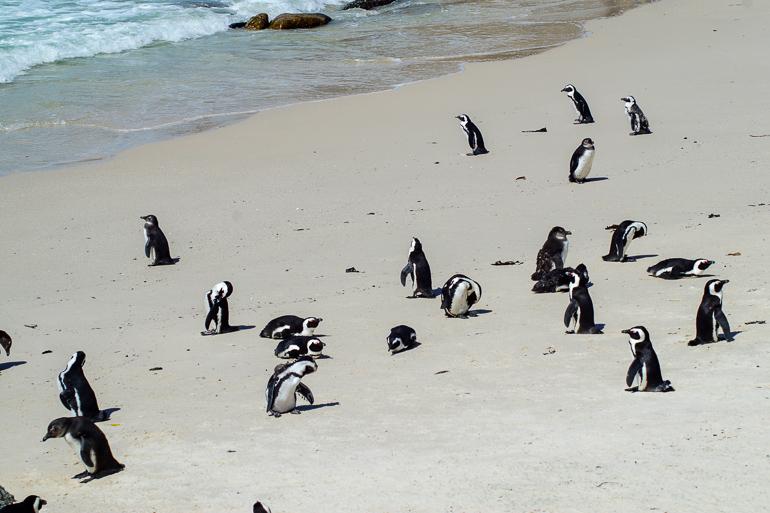 Travellers Insight Reiseblog Südafrika Kapregion Pinguine am Boulders Beach