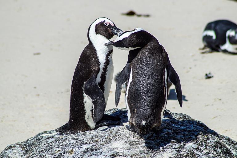 Travellers Insight Reiseblog Südafrika Kapregion Pinguine