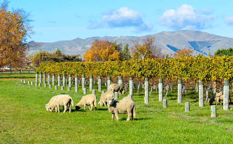 Travellers Insight Reiseblog Neuseeland Reise Schafe Marlborough
