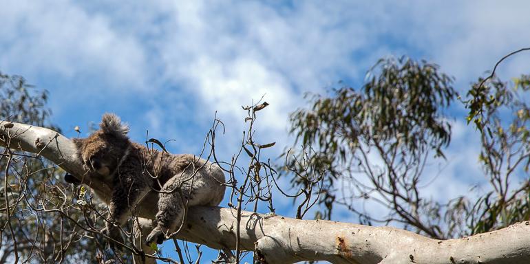Victoria, Australien: Koala hängt auf Baumstamm