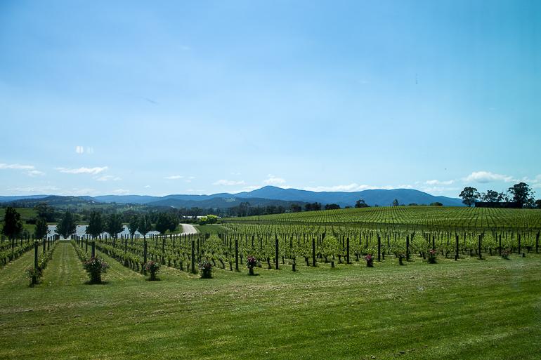 Travellers Insight Reiseblog Yarra Valley grüne Hügel
