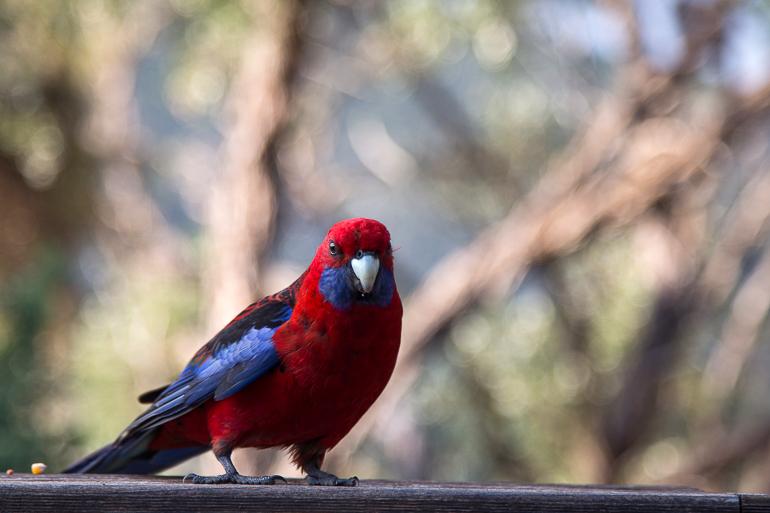 Travellers Insight Reiseblog Yarra Valley Wilsons Promontory roter Vogel