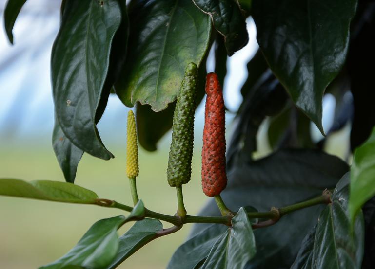 Auf der La Plantation in Kambodscha bei Kampot wird schwarzer, grüner und roter Pfeffer angebaut.