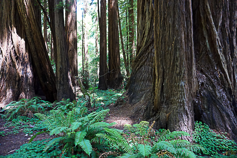 Travellers Insight Reiseblog San Francisco Hotspots Muir Woods National Monument