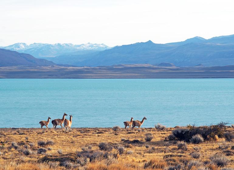 Guanakos in Patagonien