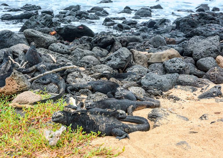 Eine Meerechse kommt selten allein: Sie liegen perfekt getarnt auf den schwarzen Lavafelsen am Playa de los Perros.