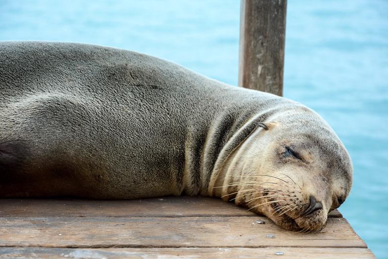 Machen gerne ein Schläfchen, auch auf einem Bootssteg: die Seelöwen auf den Galápagos-Inseln.