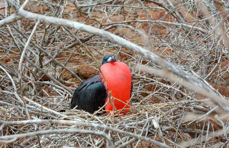 Pustet der Fregattvogel seinen knallroten Kehlkopfsack auf, ist klar: Er flirtet gerade.