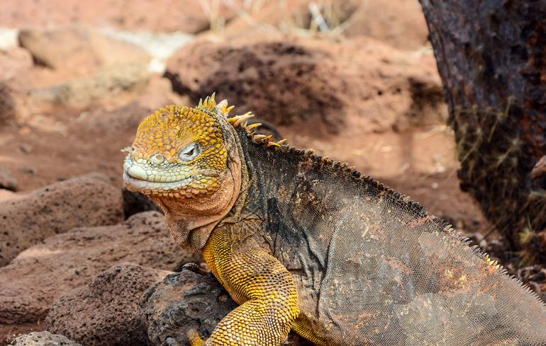 Gibt's nur auf ganz wenigen Galápagos-Inseln wie etwa Seymour Norte: den gelben Leguan.