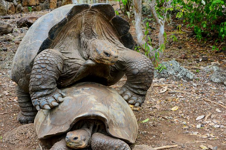 Haben sie sich nun lieb oder nicht, die beiden Riesenschildkröten im Reservat La Galapaguera?