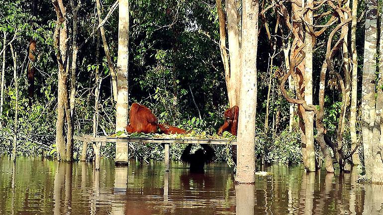 Orang Utans auf Borneo auf Pulau Kaja