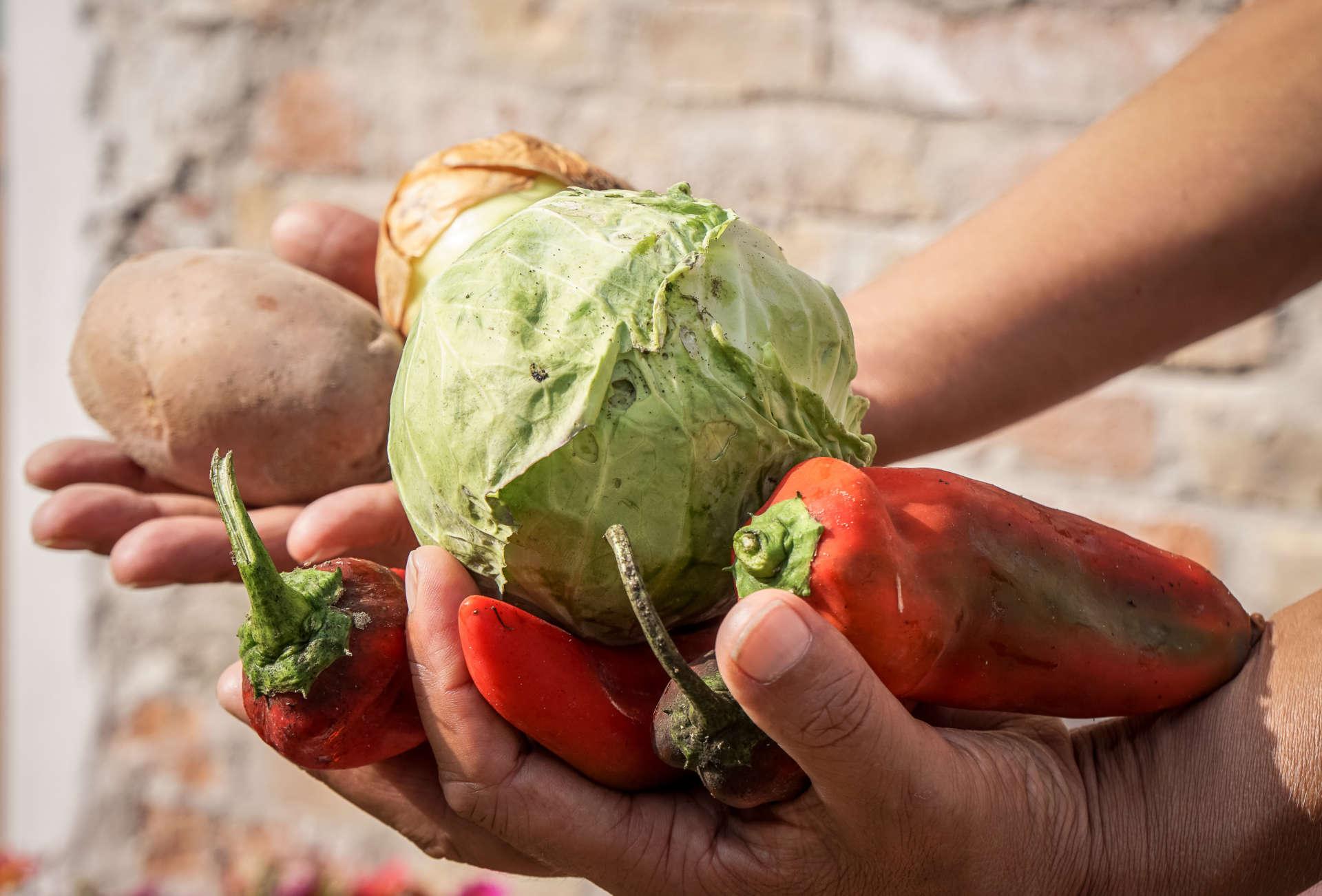 Venedig: Hände halten frisch geerntetes Gemüse.
