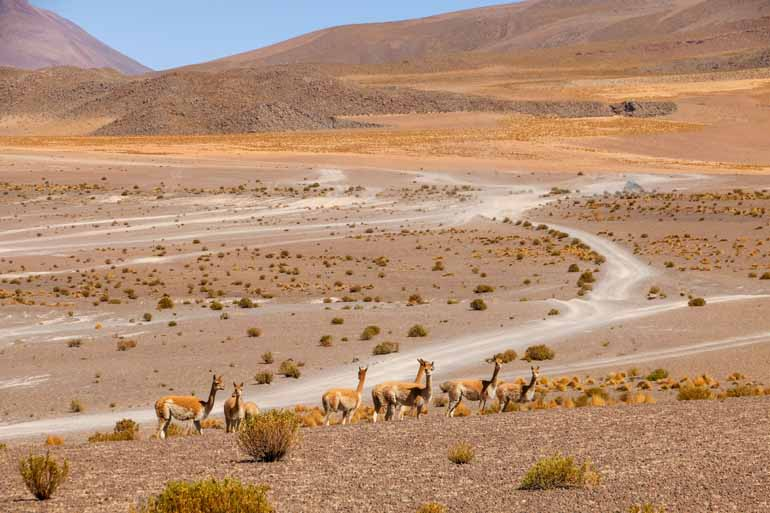 Alpakas in einer verdorrten Landschaft.