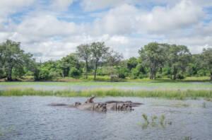 Nilpferde schwimmen im Fluss