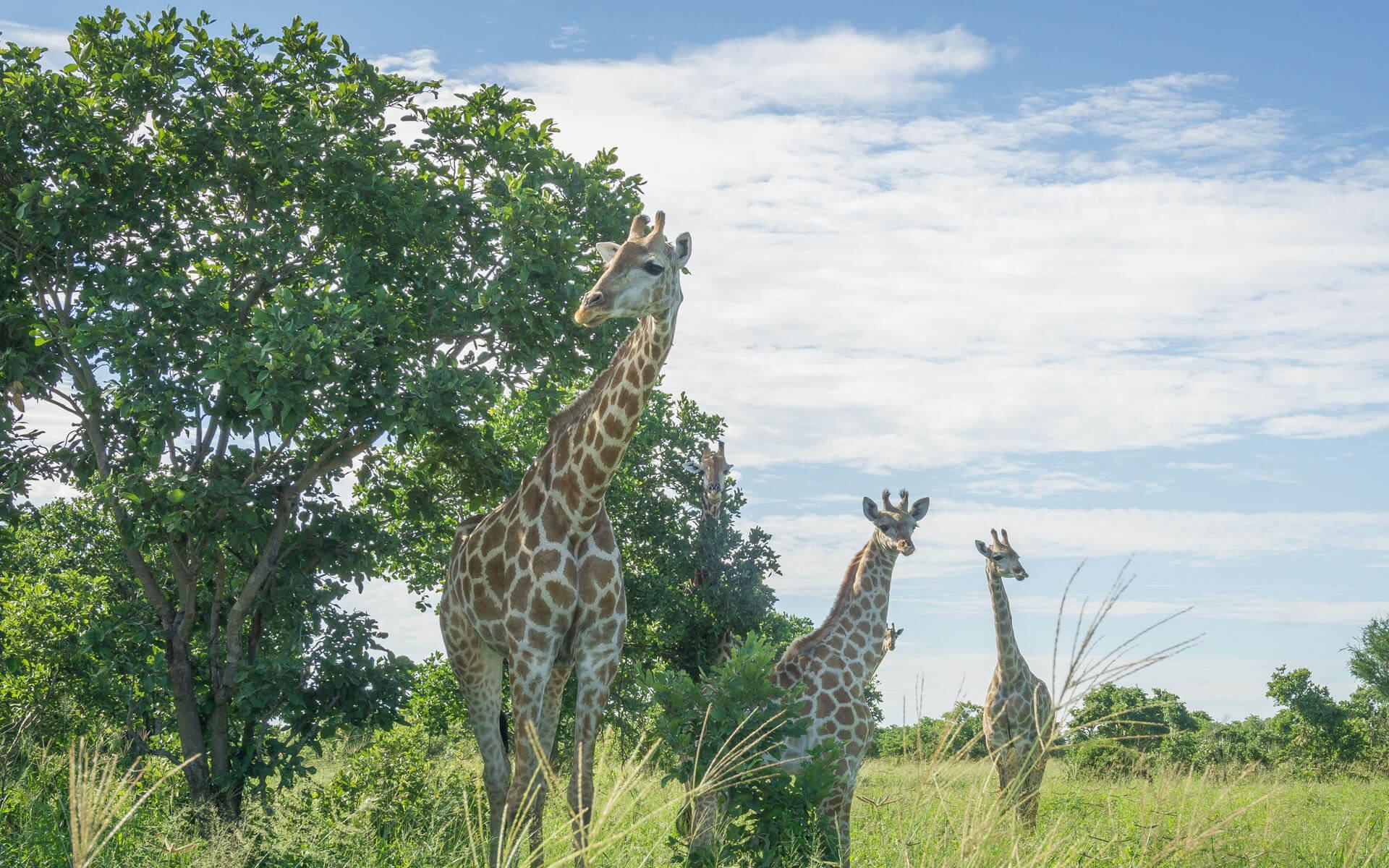 Drei Giraffen stehen auf einer Wiese.