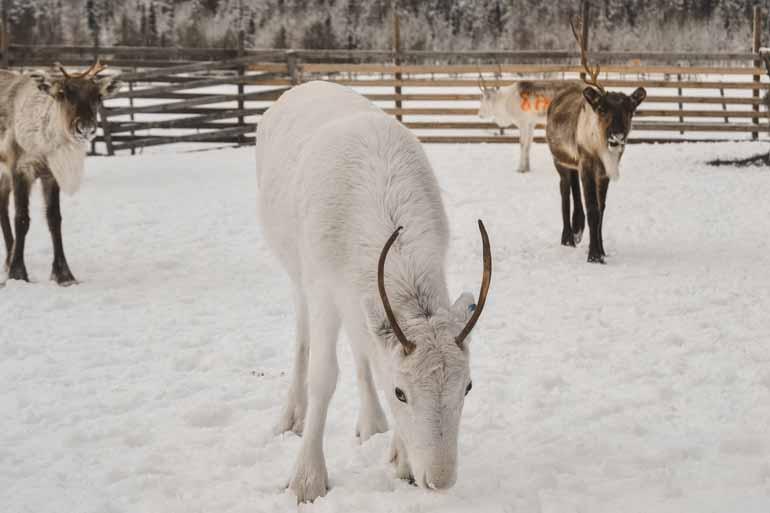 Ein weißes Rentier in Finnisch Lappland