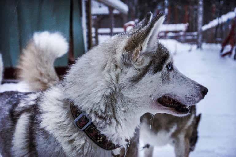 Ein Schlittenhund in Finnisch Lappland.