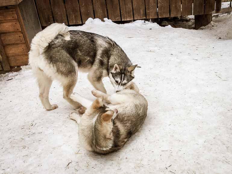 Zwei Schlittenhunde spielen in Finnisch Lappland.