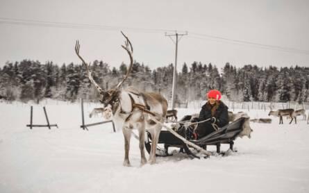 Finnisch Lappland: Ein Rentier mit einem Schlitten in dem eine Frau sitzt.