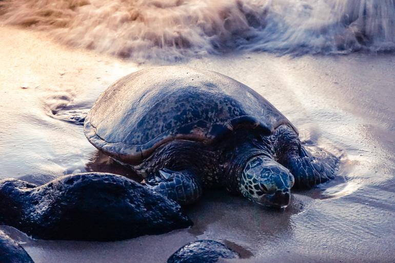 Hawaii: Honu Schildkröte