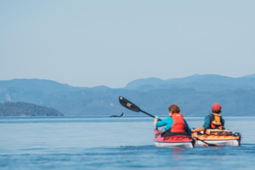 Whale Watching Vancouver Island: Zwei Kajakfahrer auf dem Meer mit einem auftauchenden Orca im Hintergrund.