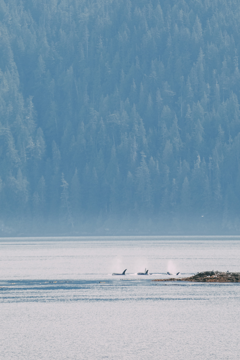 Whale Watching Vancouver Island: Drei Orca Flossen ragen aus dem Wasser raus.