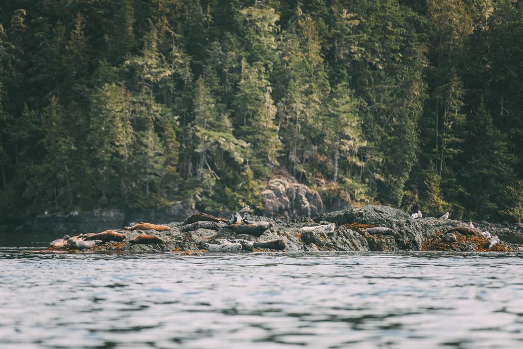 Vancouver Island: Seelöwen die auf einem Felsen im Meer liegen.