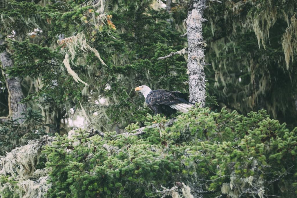 Vancouver Island: Ein Adler sitzt auf einem Baum.