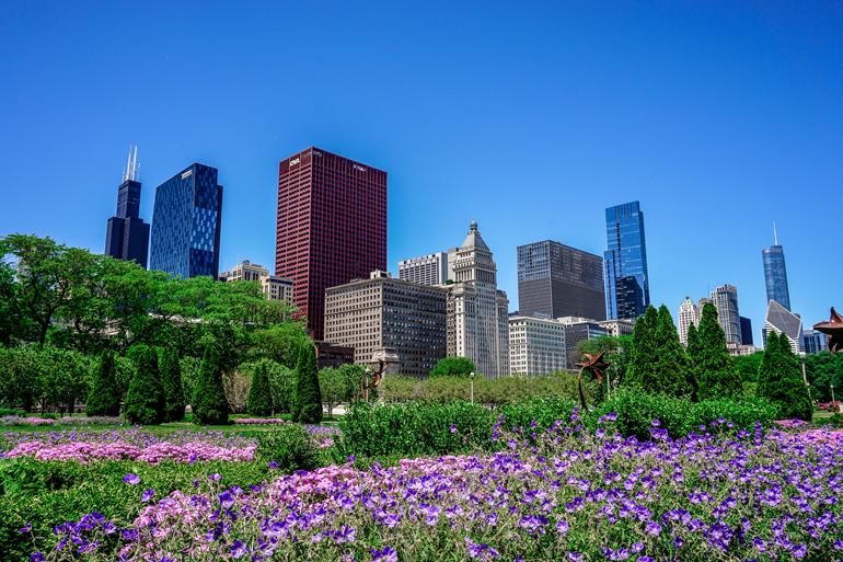 Chicago: Lila Blumen in einem Park mit Hochhäusern im Hintergrund.