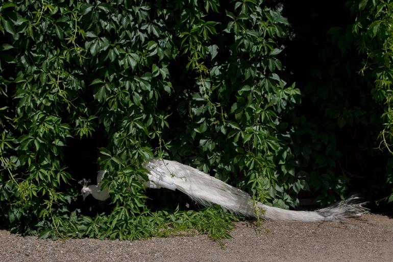 Ein Pfau steht unter einem Busch.