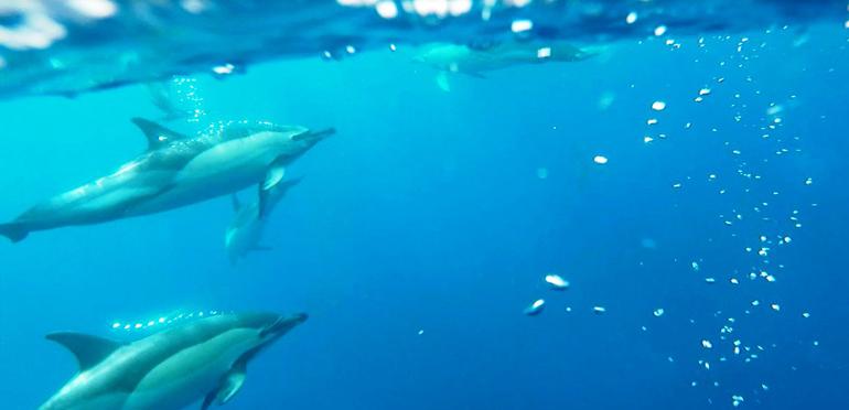 Madeira Tauchen, Surfen: Delfine die Unterwasser schwimmen.