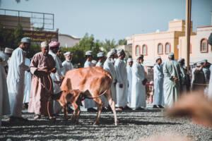 Roadtrip durch den Oman: Eine Kuh um die viele Menschen stehen.