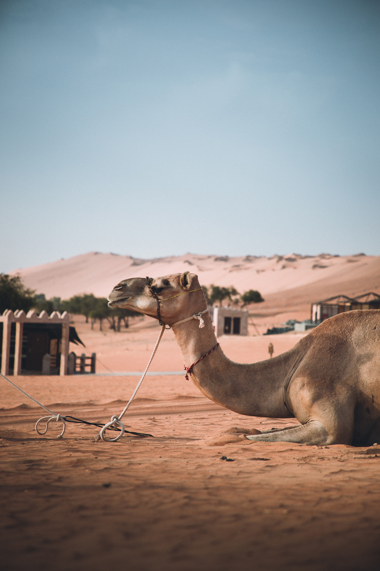 Oman Roadtrip; Reiseroute: Ein Kamel liegt im Sand.