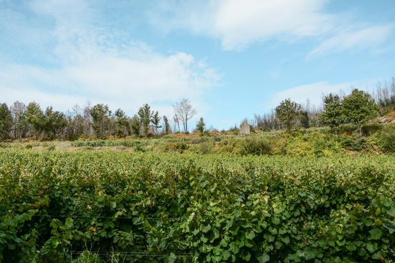 Grüne Landschaft von Weinbergen