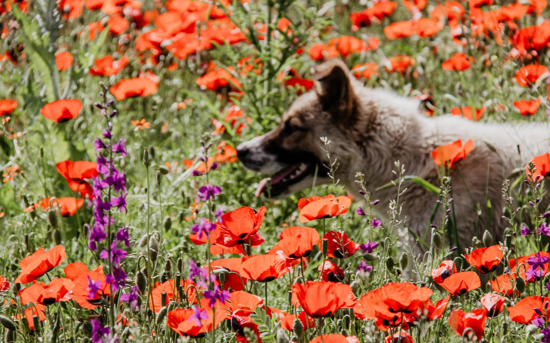 Ein Mohnblumenfeld in Armenien, durch das ein Hund läuft.