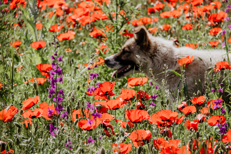 Ein Hund in einem Blumenfeld.