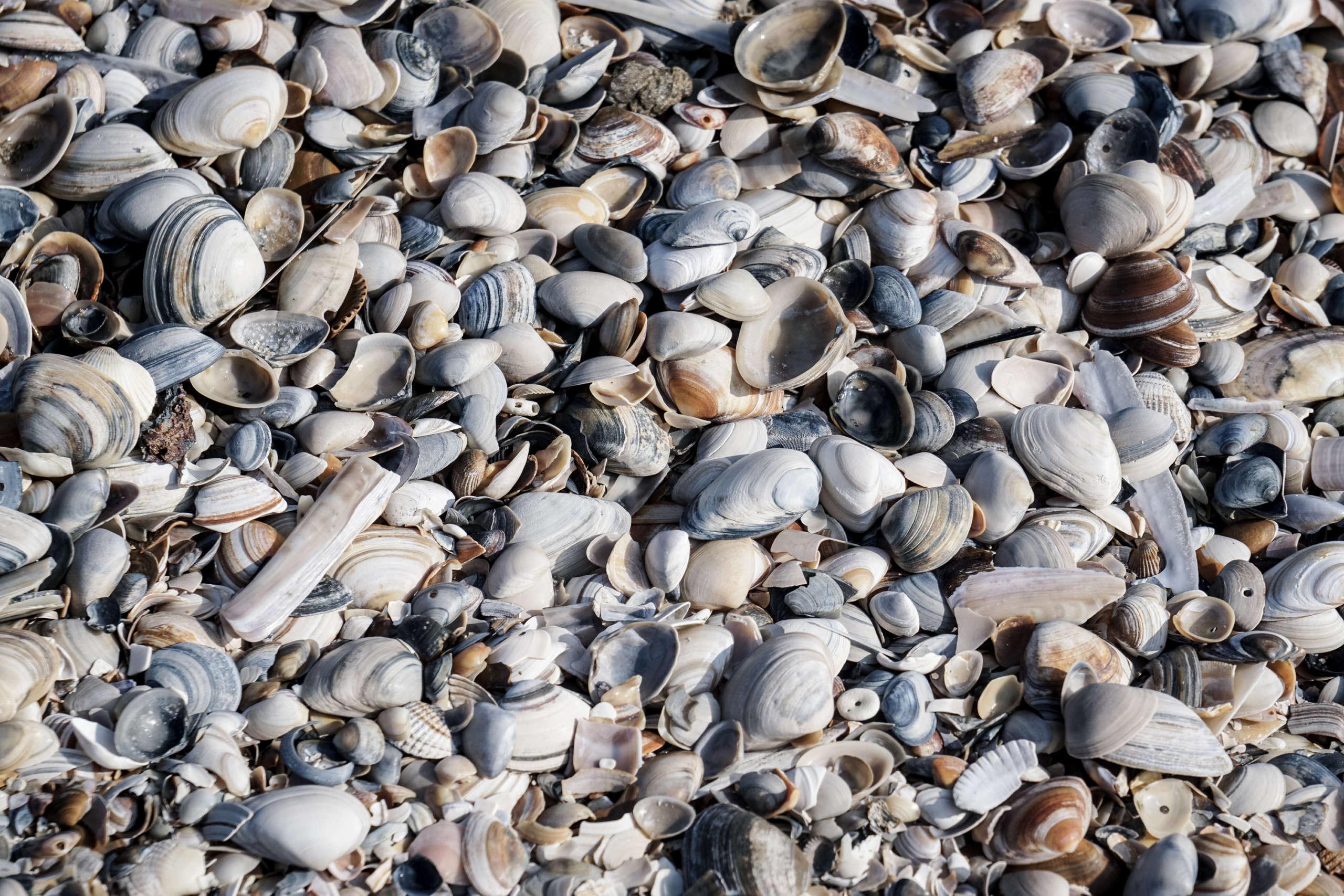 Viele verschiedene Arten von Muscheln am Strand