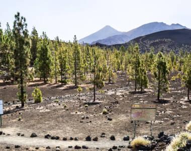 Nur wenige Bäume sind im sehenswerten Teide Nationalpark auf Teneriffa zu finden, die Landschaft ist eher karg.