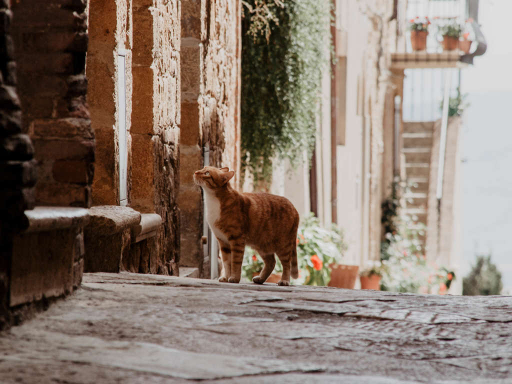 Eine Katze mit rot-bräunlichem Fell schleicht durch die blumengeschmückten Gassen von Pienza in der Toskana. Der Ortschaft sollte man bei einer Reise durch die Toskana unbedingt einen Besuch abstatten.