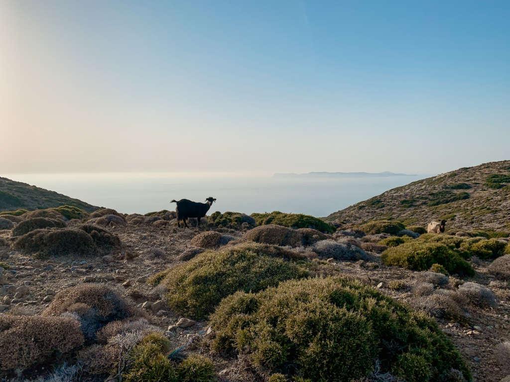 Wanderweg im Sitia Geopark auf Kreta, Ausblick auf den Ozean, vor der Klippe steht eine Ziege.
