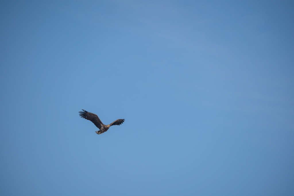 Am strahlend blauen wolkenlosen Himmel fliegt mit gespreizten Flügeln ein schwarzer Seeadler