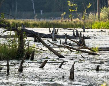 Stöcker und dicke Äste ragen aus einem sumpfartigen Gewässer, dem Schweingartensee im Buchenwald der Mecklenburgischen Seenplatte, Gräser ragen aus dem Dickicht.